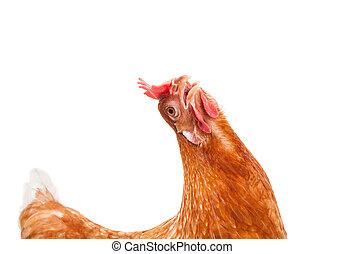 rigolote, agir, de, brun, femme, poulet, poule, isolé, blanc, backgrou