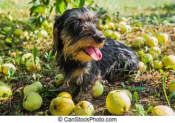 rigolote, arbre, promenade chien, apples., sous, teckel