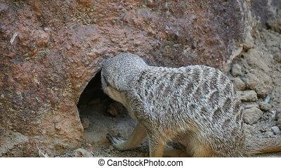 rigolote, autour de, été, séance, cautiously, regarde, rocher, raton laveur, trou