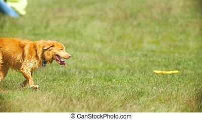 rigolote, ensoleillé, chien, courant, herbe, jour, rouges