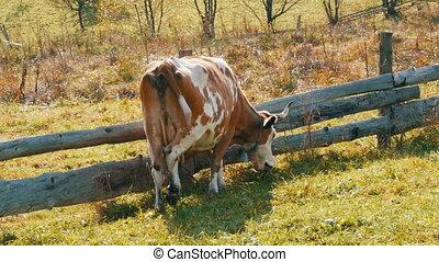 rigolote, fait maison, barrière, vache, bois, cou, red-and-white, cloche, grand, mange, herbe, métal, écorchures