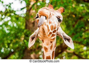 Images photos de tounge 331 photos et images libres de - Girafe rigolote ...