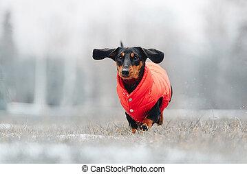 rigolote, jaquette rouge, chien basset allemand, dehors, courant