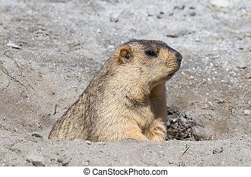 rigolote, marmotte, jeter coup oeil hors, de, a, terrier, dans, ladakh, inde