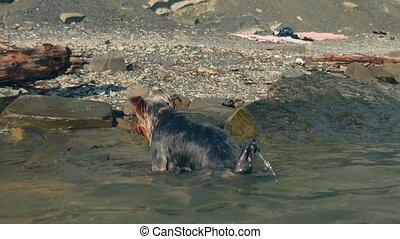 rigolote, natation, chien, eau, vidéo, sea., mer, obtient, était, dehors