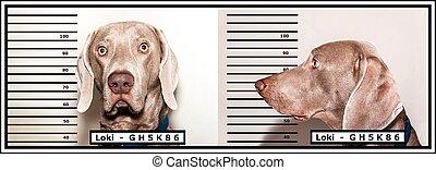 rigolote, police, weimaraner, photo, attrapé, photo., chien, police., thief., criminal.