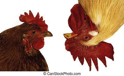 rigolote, poule, et, coq