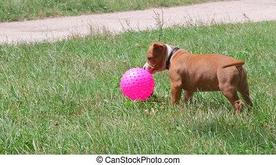 rigolote, propriétaires, balle, chien, chiot, jouer