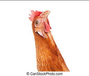 rigolote, tête, haut, isolé, agir, fond, fin, poulet, blanc