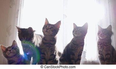 rigolote, têtes, mouvement, dos, maine, leur, chats, sun.,...