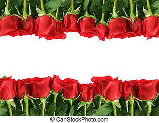 rijen, van, rode rozen, op wit