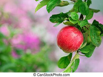 rijp, appel, in de tuin