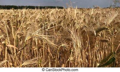 rijp, oor, van, tarwe, op, een, zomer