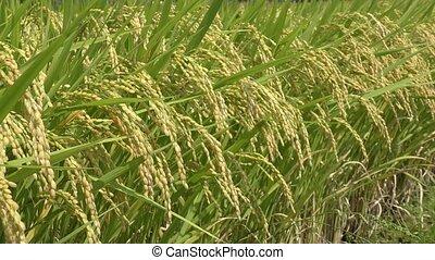 rijp, rijst, oor