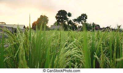 rijst, field., blazen, wind