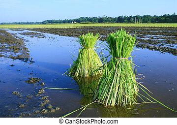 rijst, planten