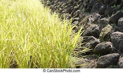 rijst veld, en, steenmuur
