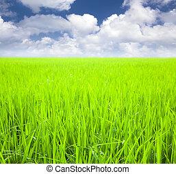 rijst veld, met, wolk, achtergrond, op, ?????? ??????