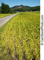 rijst veld, verticaal