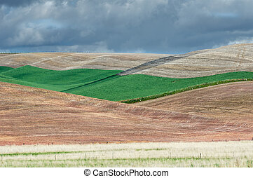rimbombante, campi, frumento, verde