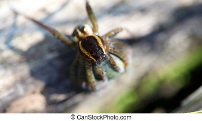 Rimmed hunting spider - macro - Rimmed hunting spider with...