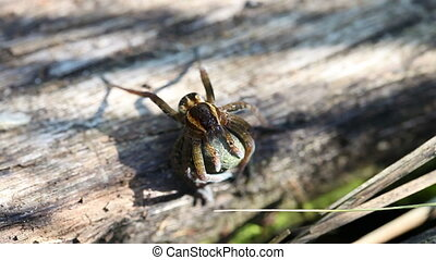 Rimmed hunting spider with cocoon - Dolomedes fimbriatus -...