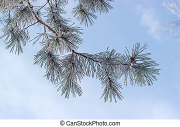 Rimy branch of pine tree on a background of sky