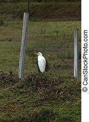rinder egret, neben, a, zaun