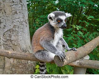 ring beschattete lemur, draußen, wald