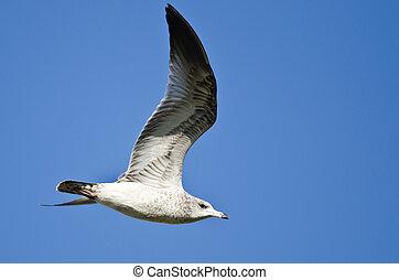 Ring-Billed Gull Flying in a Blue Sky