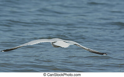 Ring-Billed Gull Flying Over A Lake