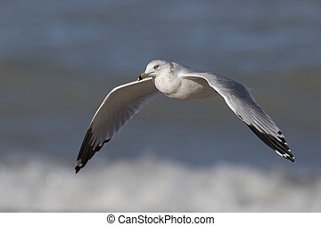 Ring-billed Gull flying over the surf on a Lake Huron beach