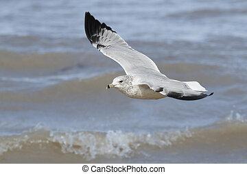 Ring-billed Gull Flying Over Waves