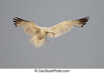 Ring-billed Gull hovering as it prepares to land