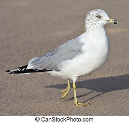 Ring Billed Gull - Ring-billed Gull (Larus delawarensis) on ...