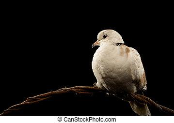 Ring neck dove, Streptopelia capicola, isolated on Black