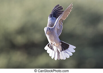 Ring-necked dove in flight on a soft green background in...