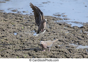 Ring-necked dove landing at a muddy pool to drink water with...