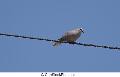 Ring Necked Dove - A Ring Necked dove perched on a telephone...
