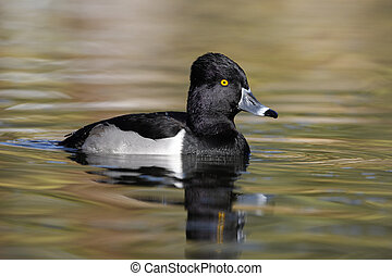 Ring-necked duck, Aythya collaris, male, Arizona, USA, winter