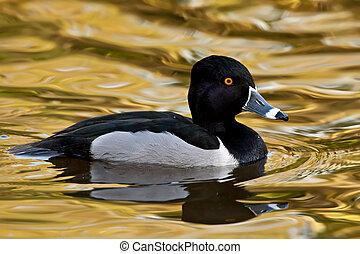 Ring-necked duck drake on golden water.