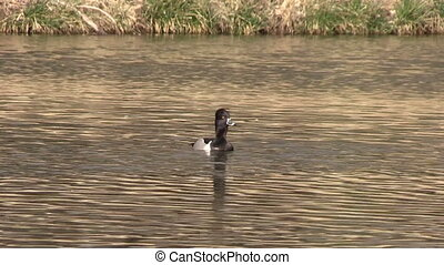a drake ring-necked duck on a pond