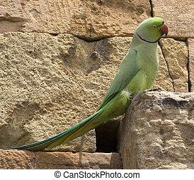 Ring Necked Green Parrot Delhi India. Nesting at minar in Delhi, India
