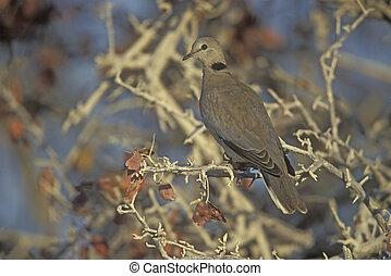 Ring-necked or Cape-turtle dove, Streptopelia capicola,...
