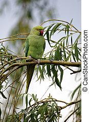 Ring-necked parakeet, Psittacula krameri, single bird on branch, London, May 2012
