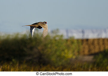 Ring-Necked Pheasant Flying Over the Field