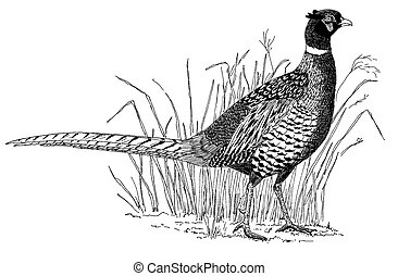 Ring-necked Pheasant - male Phasianus colchicus Pen-and-Ink Drawing