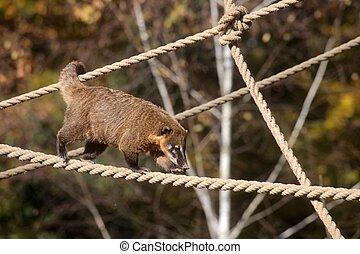 ring-tailed, coati, (nasua, nasua)