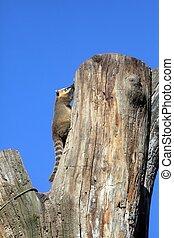 Ring-tailed Coati (Nasua nasua)