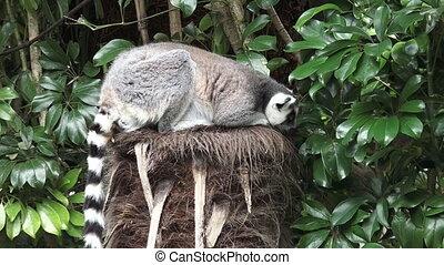 Ring-tailed lemur eat Lettuce - Ring-tailed lemur (Lemur...